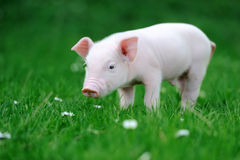 Young pig in grass. Young pig in a spring green grass stock image