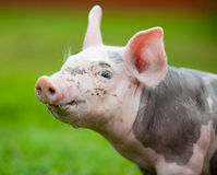 Young pig on a green grass Royalty Free Stock Images