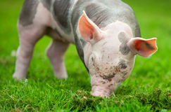 Young pig on a green grass Stock Photography