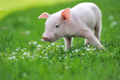 Young pig on a green grass Stock Images