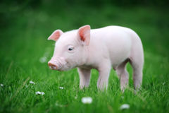 Young pig on a green grass Royalty Free Stock Image