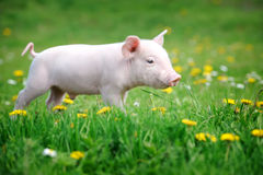 Young pig on a green grass Stock Photos