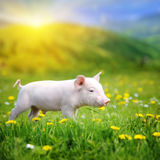 Young pig on a green grass Royalty Free Stock Photo