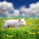 Young pig on a green grass Royalty Free Stock Photography