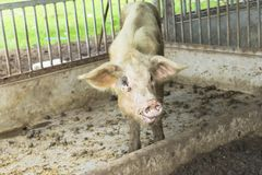 Young Pig in the Wood Cage. royalty free stock photo