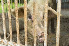 Young Pig in the Wood Cage. royalty free stock photos