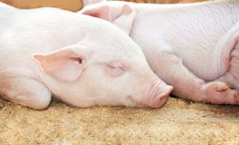 Young pig in shed. Young sleeping pig after sucking in shed Stock Images