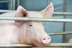 Young pig in shed Royalty Free Stock Images