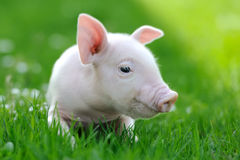 Young pig Stock Image