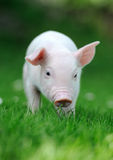 Young pig Stock Photos