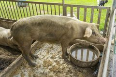 Young Pig in the Wood Cage. stock image