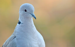 Young pigeon portrait Stock Photography
