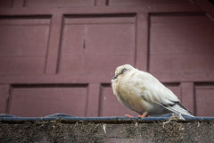 A young pigeon Royalty Free Stock Photo