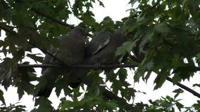 Young Pigeons being fed by parent. Two young Pigeons waiting for food from parent bird standing on a branch against a pale sky.  Parent bird starts to feed them stock footage