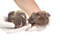 Young pigeons in hands of the veterinarian Stock Photography