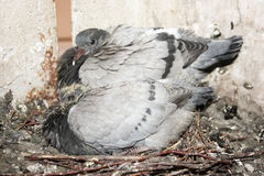 Young pigeons in the nest. brother Royalty Free Stock Images