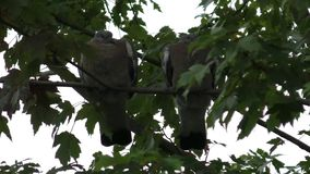 Young Pigeons waiting for food. Two young Pigeons waiting for food from parent bird standing on a branch against a pale sky.  Parent bird arrives and starts to stock footage