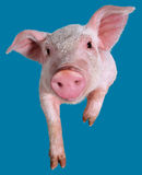 Young piglet. Young pig closeup on blue background Stock Images