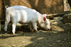 Young piglet Stock Images