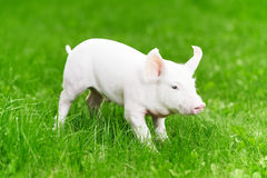 Young piglet on green grass stock images