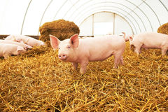 Young piglet on hay at pig farm Royalty Free Stock Photos