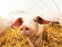 Young piglet on hay at pig farm Royalty Free Stock Photography