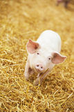 Young piglet on hay and straw at pig breeding farm Stock Photography