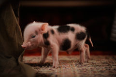 Young piglet. Newborn piglets came to be photographed in the photographer`s studio in the village stock image