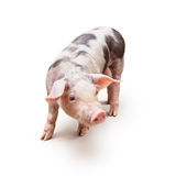 Young piglet. Pietrain breed, over white background Stock Photos