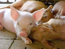 Young piglet Stock Photos