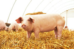 Young piglet at pig breeding farm. One young piglet on hay and straw at pig breeding farm Stock Photo