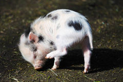 Young piglet. A young piglet scratching itself with it's eyes closed Royalty Free Stock Photos