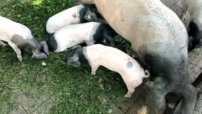 Young piglets with mother pig stock video