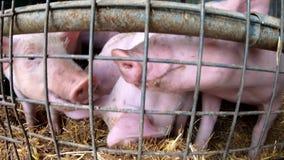 Young piglets at pig farm