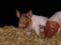 Young piglets playing in the barn stock images