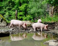 Young pigs Royalty Free Stock Photo