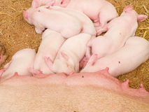Young pigs Royalty Free Stock Photos