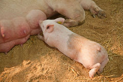 Young pigs Stock Photography