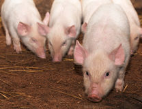 Young pigs Stock Photo