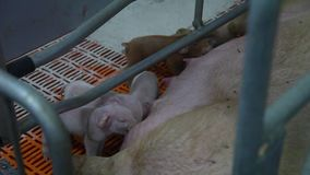 Young pigs in the cage. This video is about Young pigs in the cage stock video
