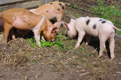 Young pigs eats grass Royalty Free Stock Photos
