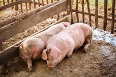 Young pigs lay in wooden cage Royalty Free Stock Photos
