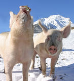 Young Pigs On The Walk In The Swiss Alps Stock Photography
