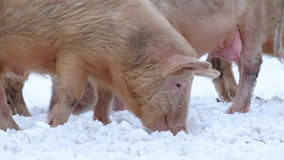 Young pigs. On pasture in winter stock footage