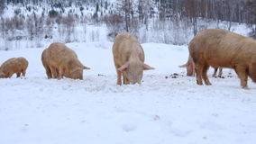 Young pigs. On pasture in winter stock video