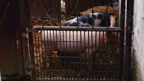 Young Pigs in Stable on Breeding Animal Farm stock footage