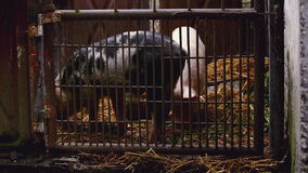 Young Pigs in Stable on Breeding Animal Farm stock video