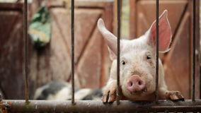 Young Pigs in Stable on Breeding Animal Farm stock video footage