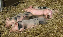 Young pigs in the straw Stock Images