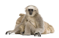 Young Pileated Gibbon, 1 year , Hylobates Pileatus Royalty Free Stock Image